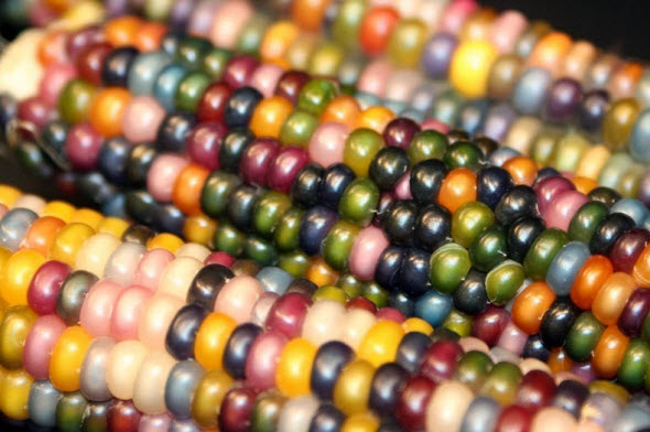 Glass Gem Corns by Carl Barnes from Oklahoma