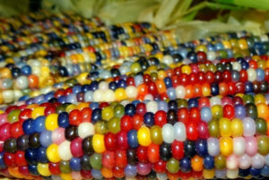 Multi-coloured Glass Gem Corns by Carl Barnes from Oklahoma
